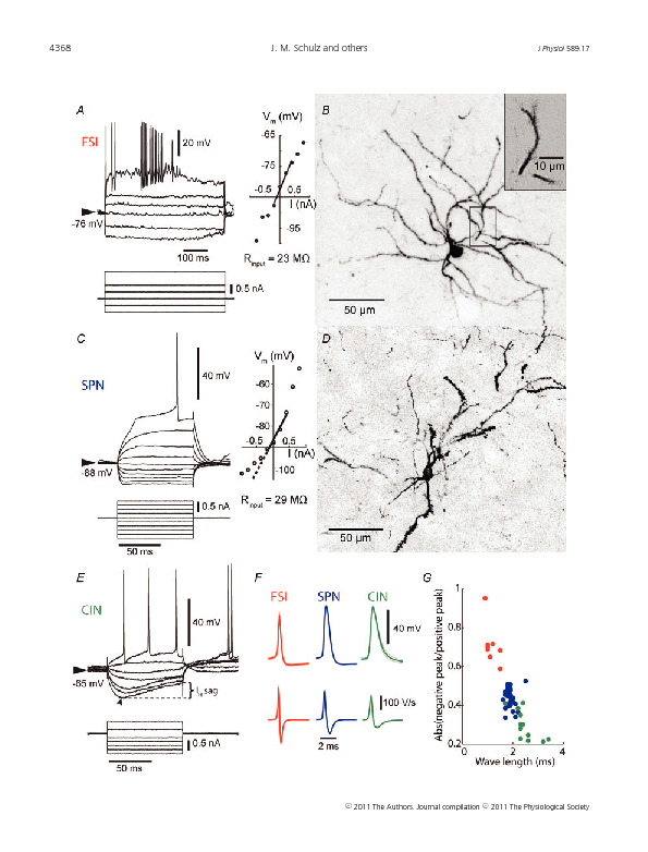 Download Enhanced high-frequency membrane potential fluctuations control spike output in striatal fast-spiking interneurones in vivo.